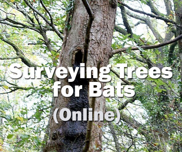 Bats: Surveying Trees for Bats Online Course