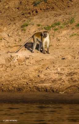 Monkey by Lugenda RIver, Africa