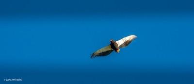 Eagle, Niassa, Africa