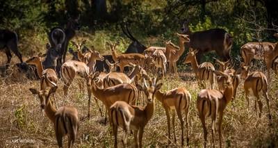 Impala, Niassa, Africa