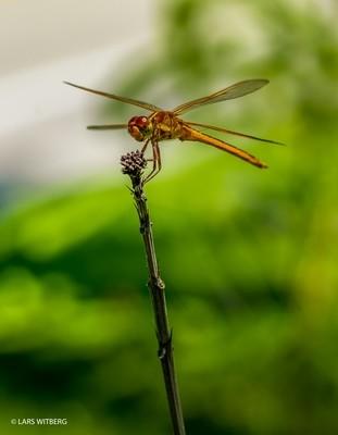 Dragonfly, Everglades