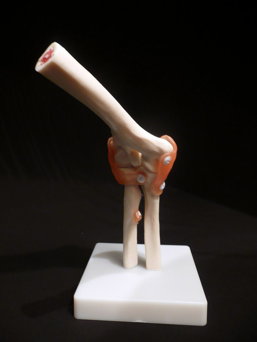 Life-Size Anatomical Human Elbow Joint Model   Joints ...