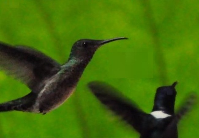 HummingbirdEcuadorGreen