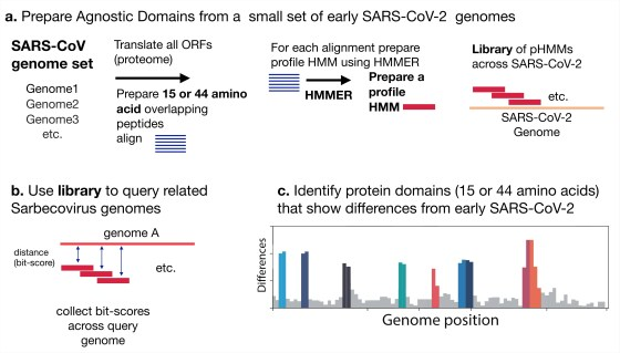 Scheme of analysis.  (A) Hidden Markov profile domains (pHMM) were generated from a set of 35 sequences of the B genome of SARS-CoV-2 early lineage.  All open reading frames were translated and then sliced into either 44 amino acid peptides with a step size of 22 amino acids or 15 amino acid peptides with a step of 8 amino acids.  Peptides were grouped using Uclust (13), aligned with MAFFT (14), and then each alignment was incorporated into pHMM using HMMER-3 (10).  (B) The pHMM set was used to test the Sarbecovirus genome sequences, bit points were collected as a measure of the similarity between each pHMM and the query sequence.  (C) Bit-results were collected analyzed to reveal regions that differ between the early SARS-CoV-2 genome and the query genome.