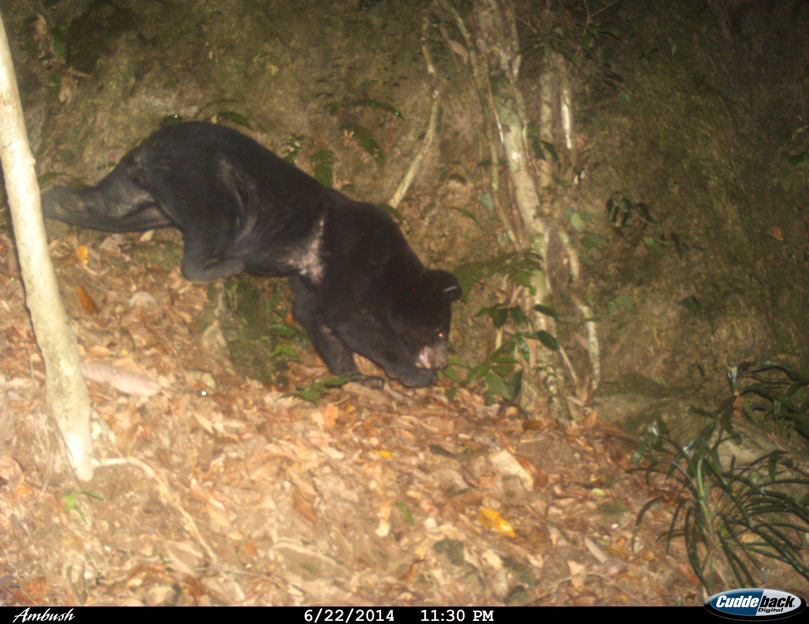 Asiatic Black Bear Red List