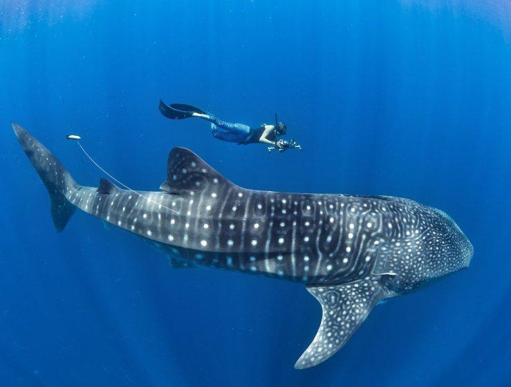 Резултат со слика за whale shark