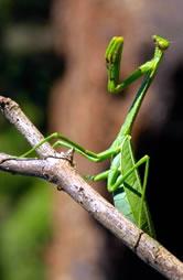Praying Mantis WWF