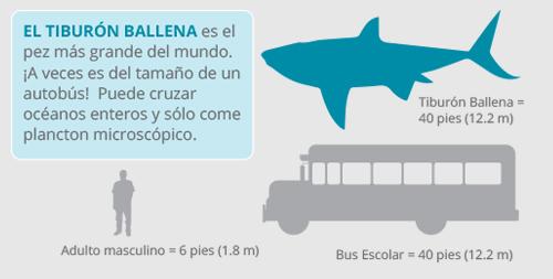 Resultado de imagen para tiburón ballena infografia