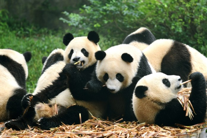 Group of giant panda eating bamboo in Chengdu, China - flights to Chengdu