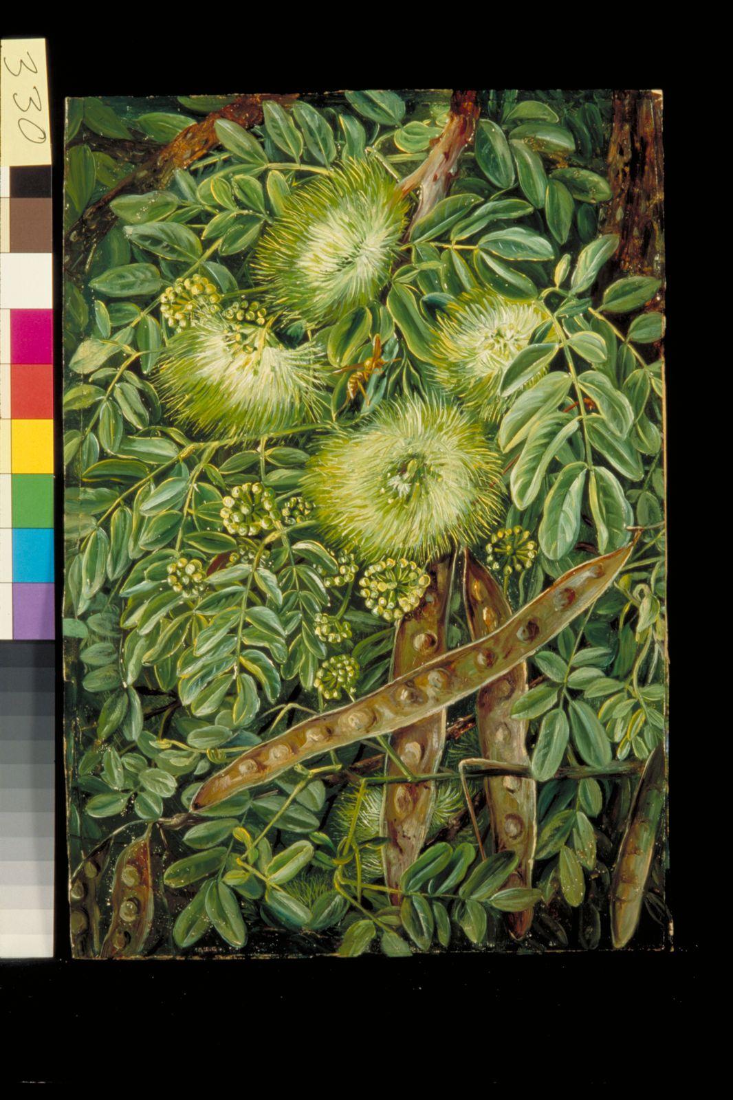 Albizia Lebbeck L Benth Plants Of The World Online