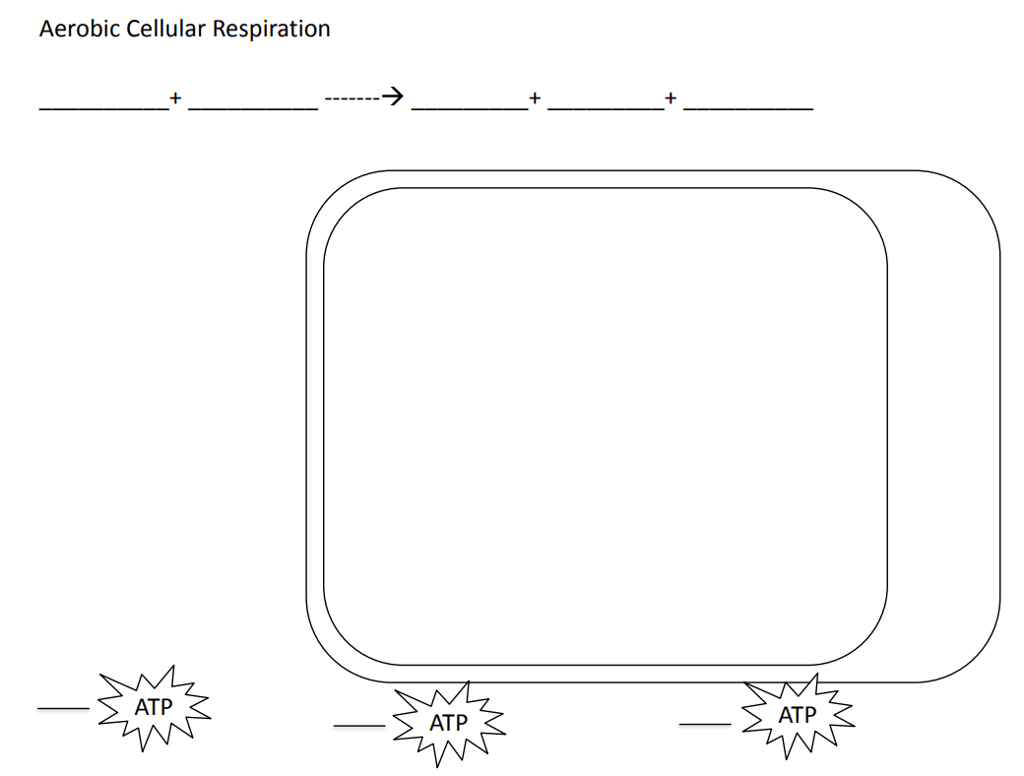 Cellular Respiration Activity Worksheet