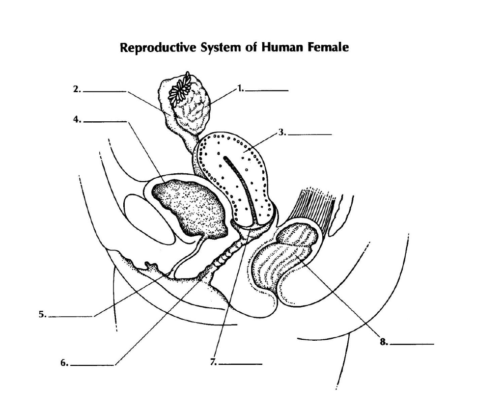 Solved Reproductive System Of Human Female 2 1 4 3 8