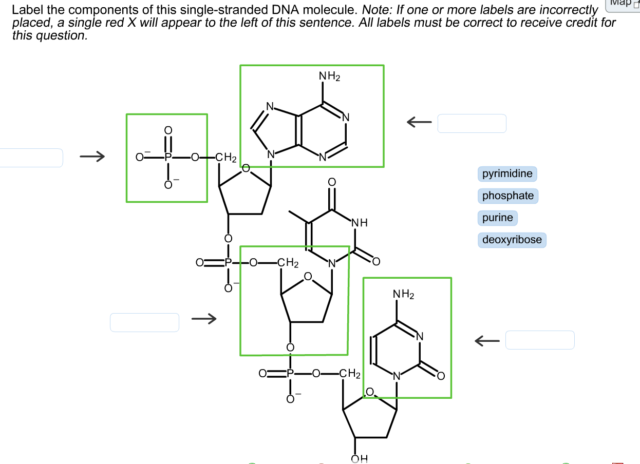 Solved Label The Components Of This Single Stranded Dna M