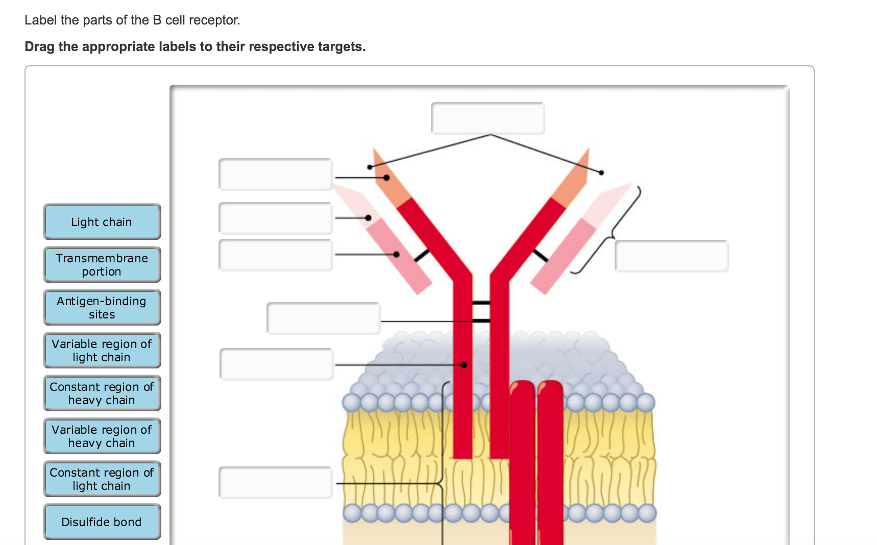 Solved Label The Parts Of The B Cell Receptor Drag The A