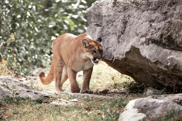 mountain lion roaming