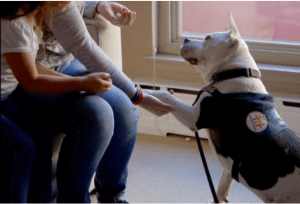 Pit bull terrier therapy dog shaking hands