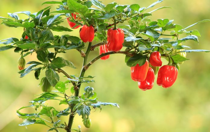 Plants of habanero scotch cap chili pepper with fruit