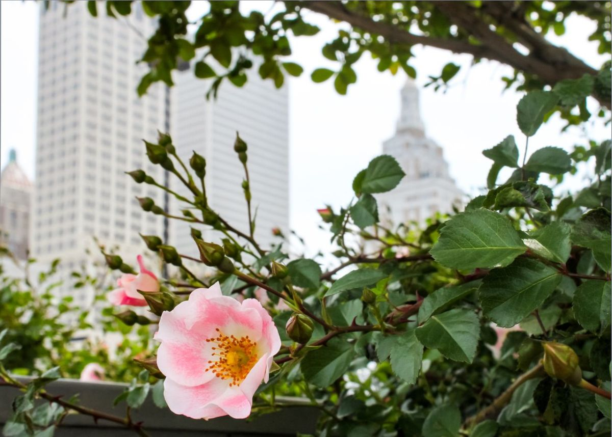 Wild pink rose with blurred skyline of Tulsa Oklahoma behind it