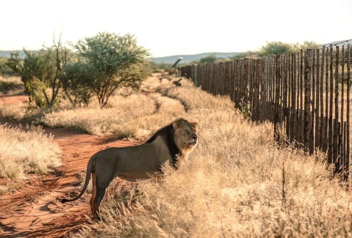 Lion standing near a fence