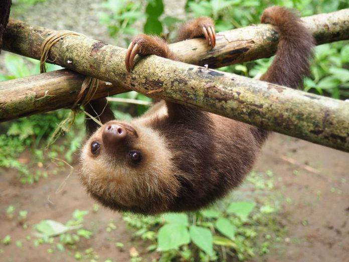 Baby sloth hanging from a tree