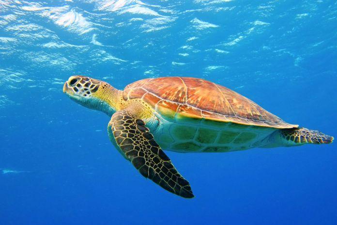 Sea turtle underwater swimming in the blue sea