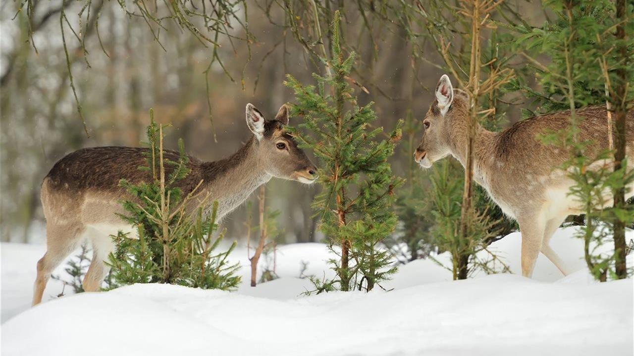 Deer Winter Browse Species