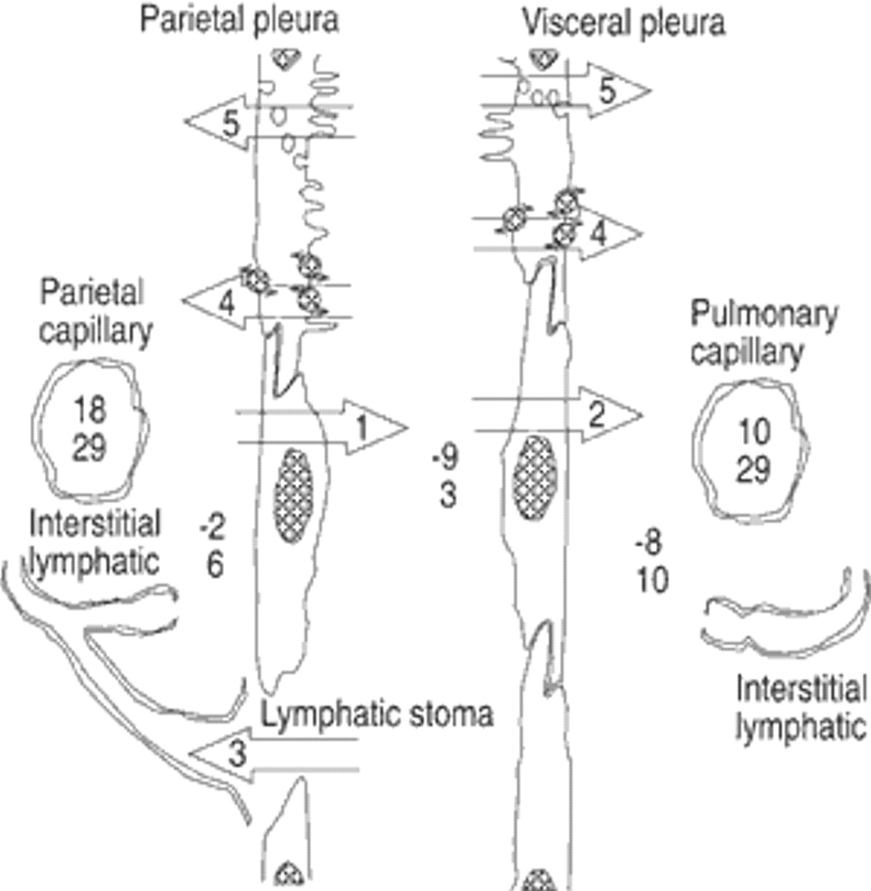 Physiology And Pathophysiology Of Pleural Fluid Turnover