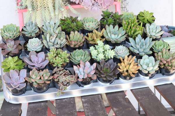 The Succulent Source Photo of 32 different succulents on display on wood shelf