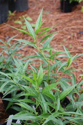 Sarcococca Saligna Sarcococca Salicifolia Sweet Box Sweet