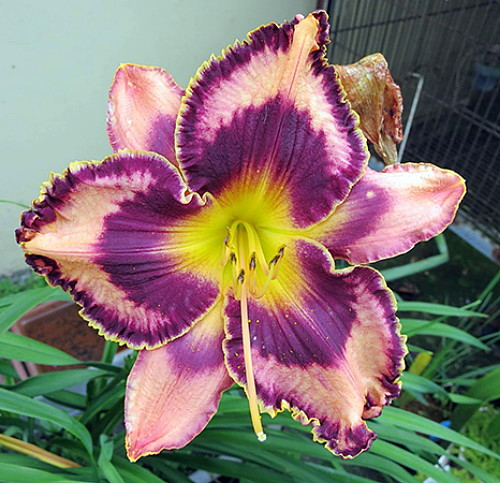 Simmons Overture Daylily 500 Perennial Hemerocallis