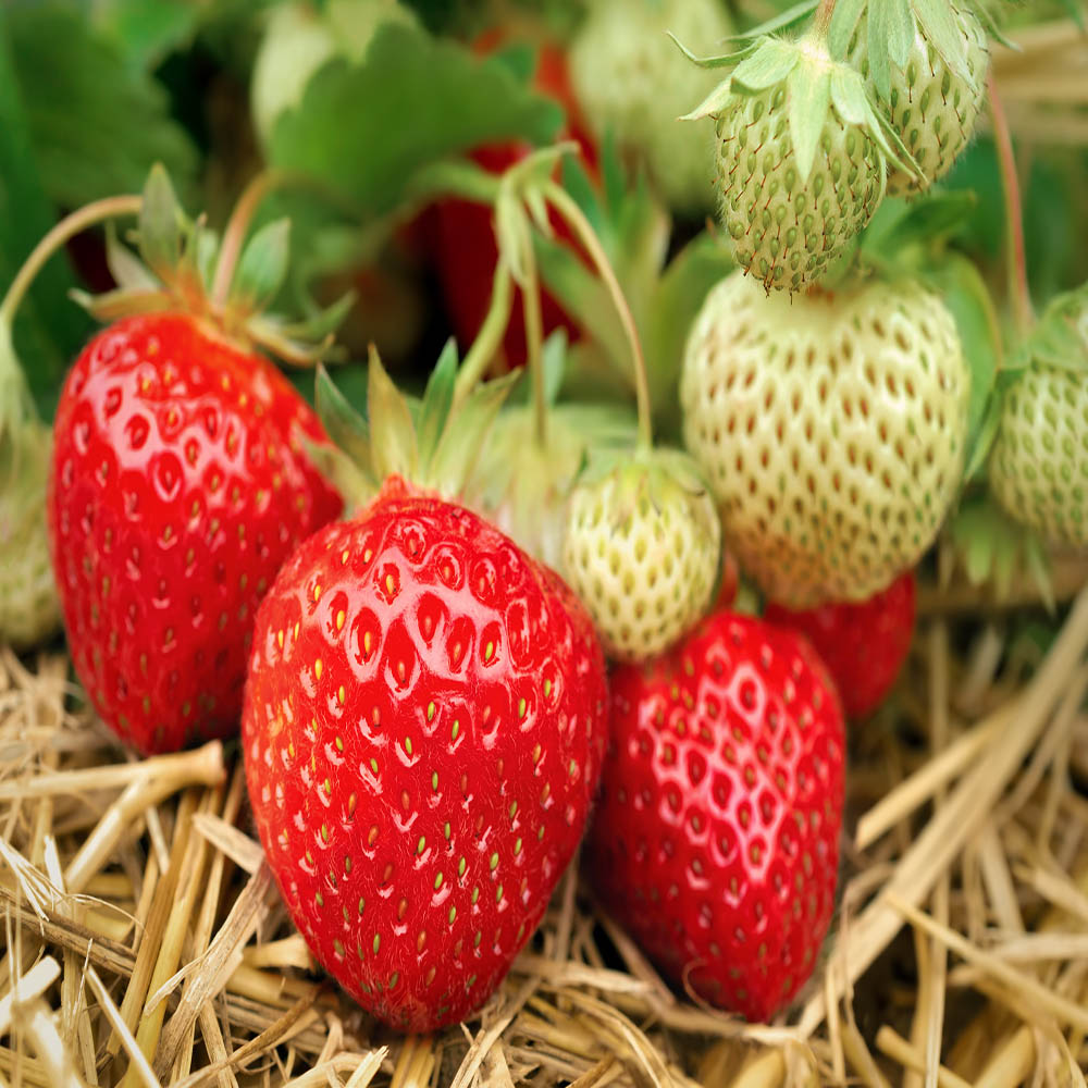 Strawberry Plant Quinault