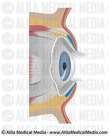 Alila Medical Media   Eye conjunctiva, unlabeled ...