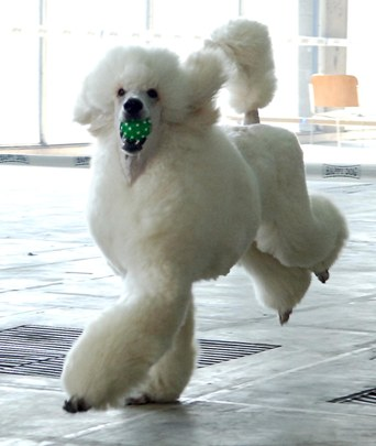 Image result for french poodle