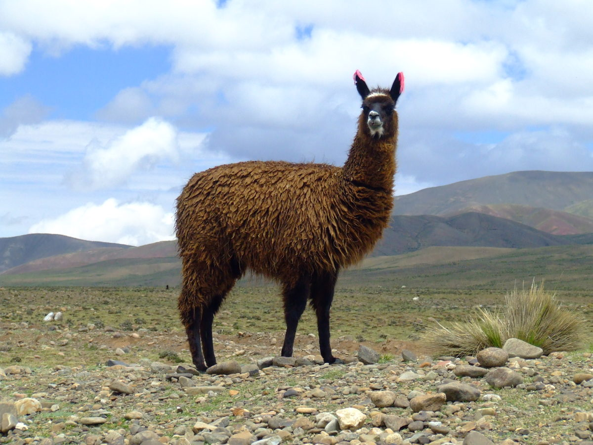 How Llamas Could Help Us Fight The Flu Pbs Newshour