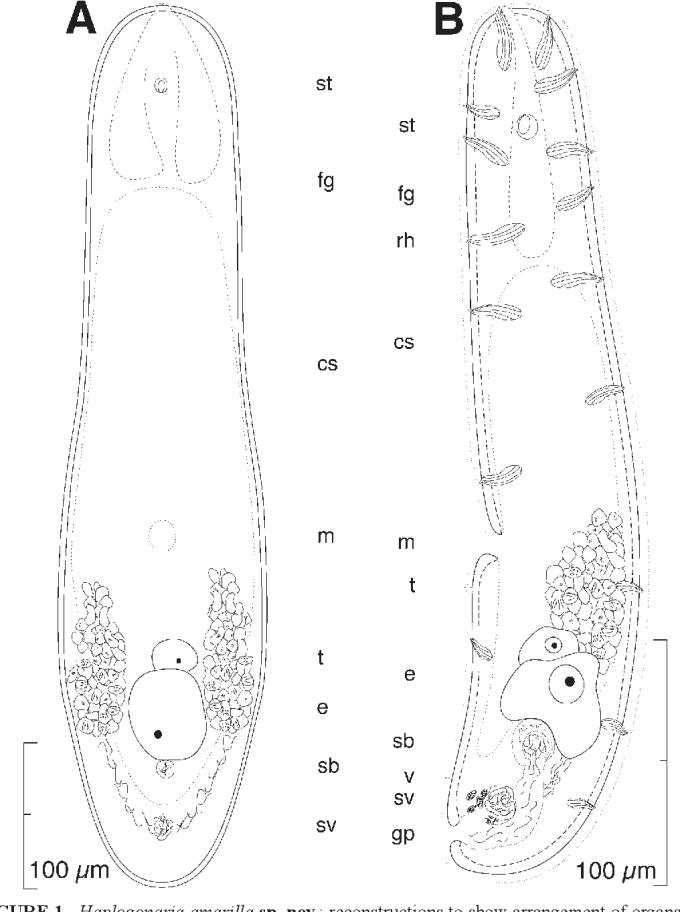 Figure 1 From New Species Of Acoela Acoelomorpha From The Gulf Of California Semantic Scholar
