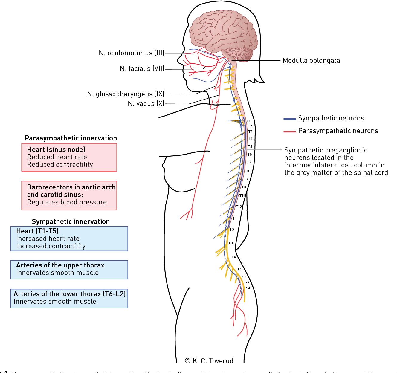 Figure 3 From Cardiovascular Complications Of Spinal Cord