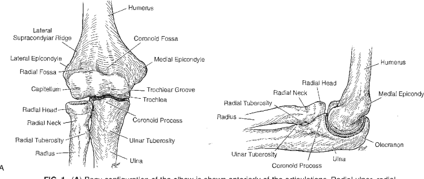 PDF Functional Anatomy of the Elbow   Semantic Scholar