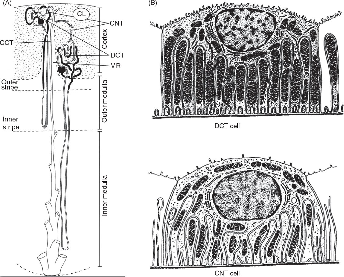 Distal Convoluted Renal Tubule Structure