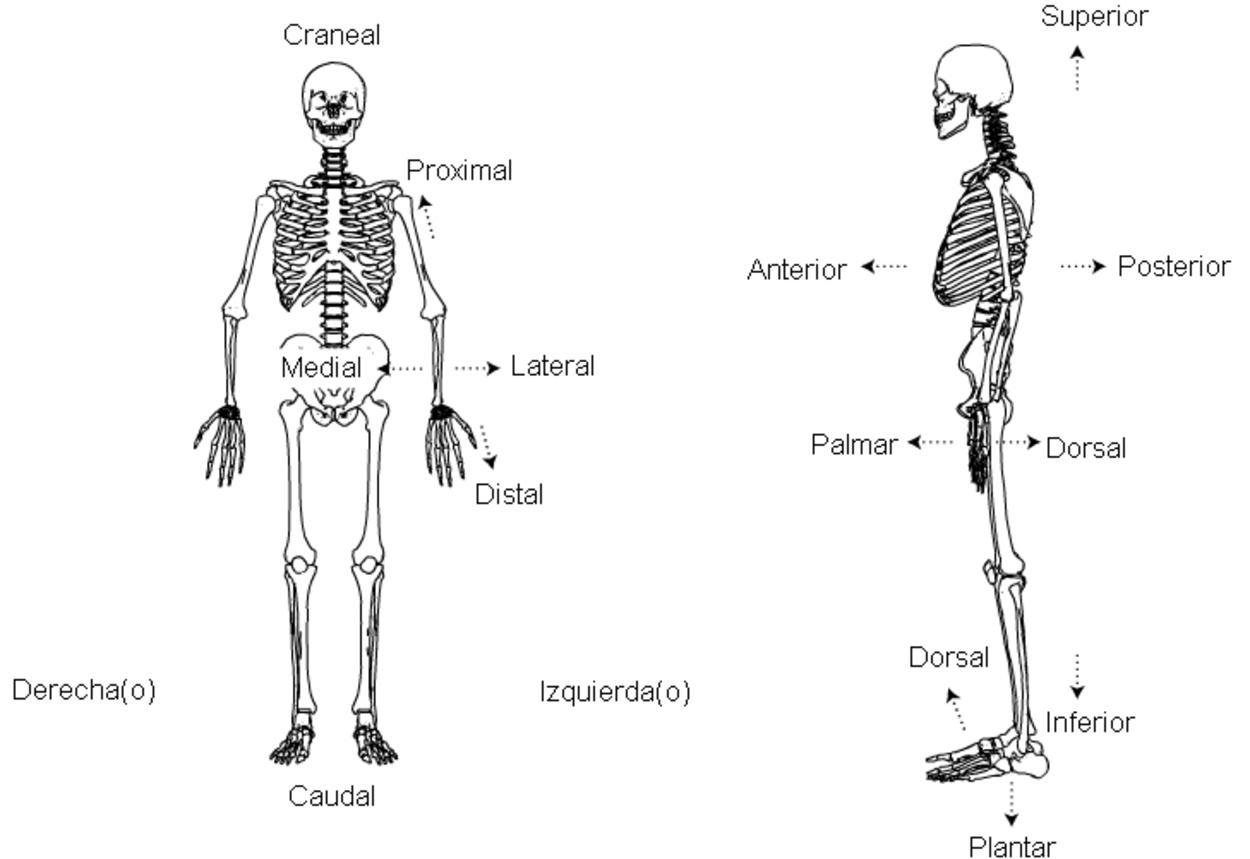 Opiniones De Lateral Anatomia