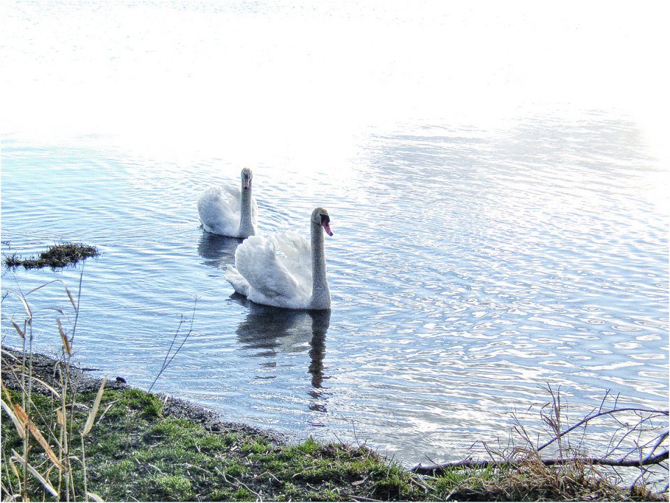 Swans at Alloa (backblip)