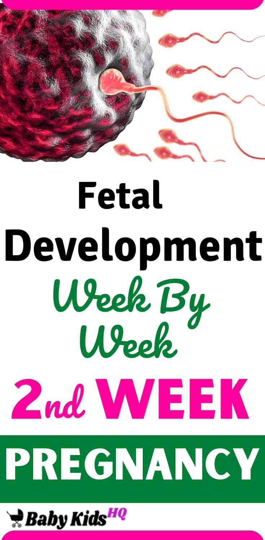 Baby Development 2nd Week Of Pregnancy