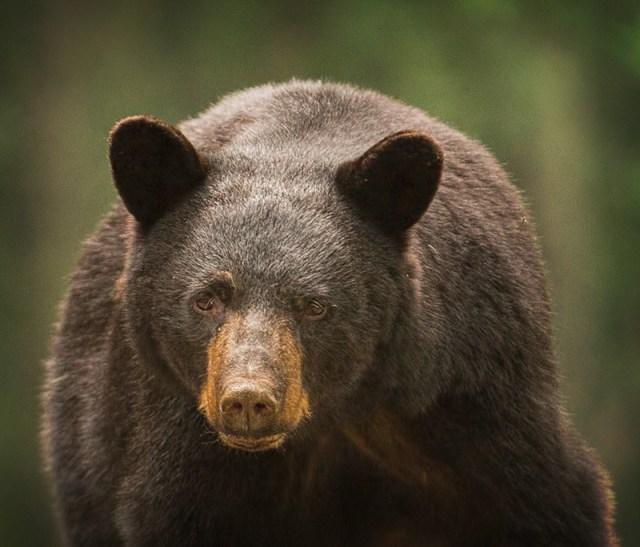Bear Aware, Blue Ridge Parkway, the Chestoa Overlook, near Milepost 320. By Carol Haff.