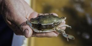 shedding crab