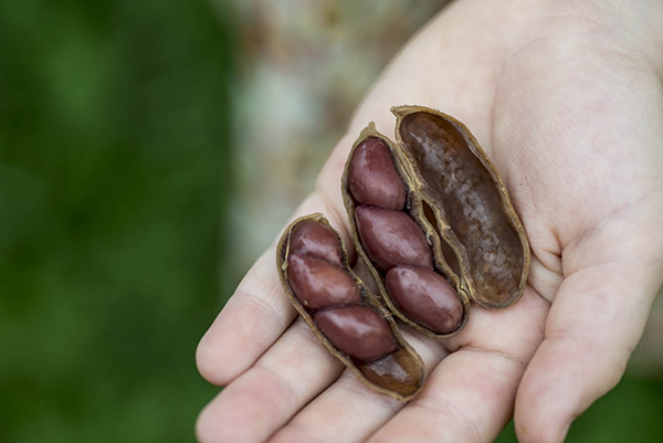 The best method to enjoy boiled peanuts? Eating them by the handful. • Photo by Lissa Gotwals.