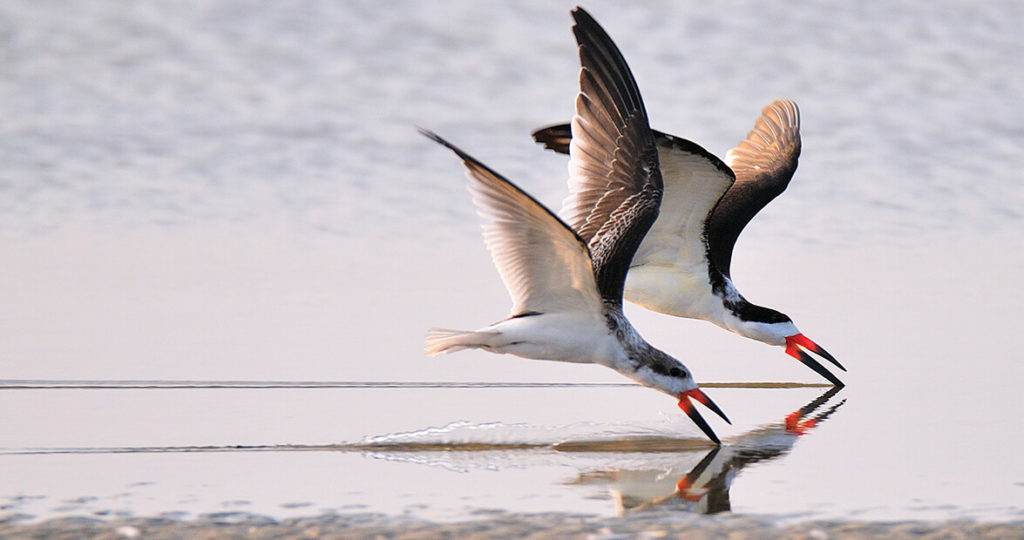 black skimmers feat img