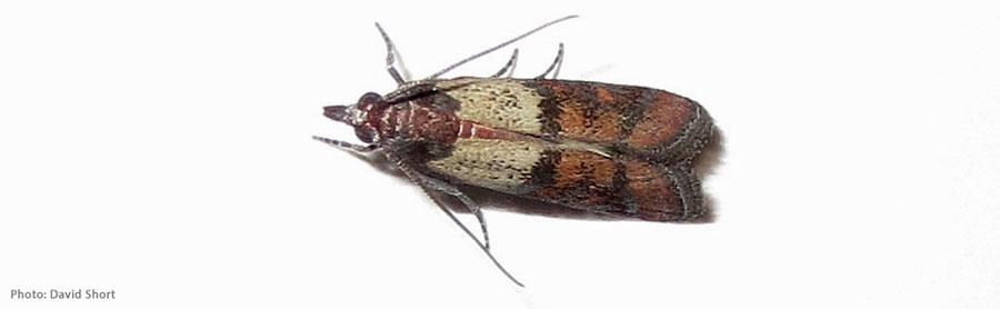 Indian Meal Moths Northwest Center For Alternatives To Pesticides