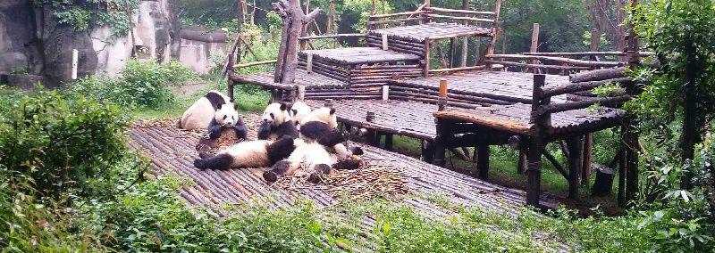 1-Day Panda Breeding Center plus Chengdu Highlight City Tour