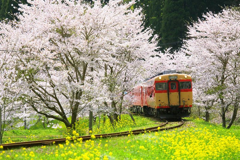 Kawazu Cherry & Rape Blossoms Day Tour with Strawberry Picking