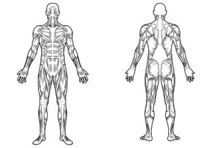 Illustration & graphics contest | Full Body Muscle Diagram for professional massage charting