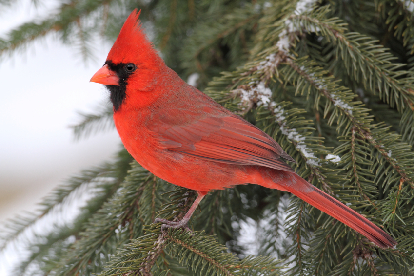 Tips For Attracting Cardinals Blains Farm Amp Fleet Blog